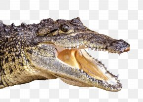 Crocodile - Crocodiles Alligator PNG