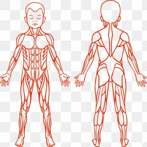 Muscle Vector Children - Anatomy Muscular System Human Body Muscle PNG