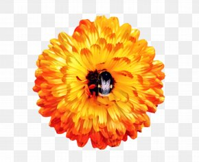 Pollen Calendula - Flowers Background PNG