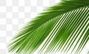 Coconut Tree Photos - Arecaceae Cycad Leaf Tree Coconut PNG