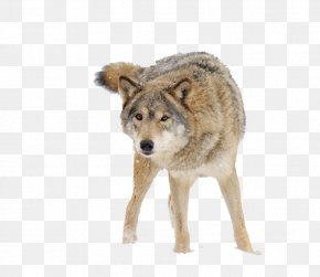 Snow Wolf - Dog Snow PNG