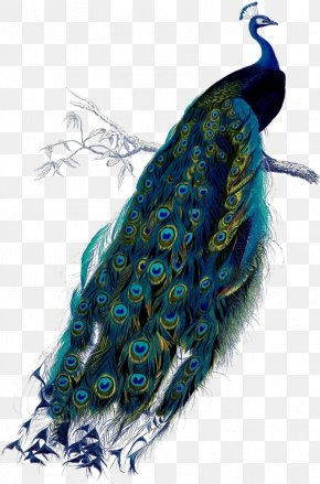 Peacock - Peafowl Art Poster Clip Art PNG