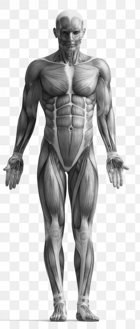 Anatomy - Myofascial Trigger Point Massage Physical Therapy Muscle PNG