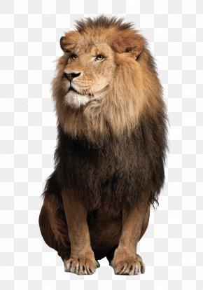 Lions Lions - Sea Lion Leopard Jaguar Felidae PNG