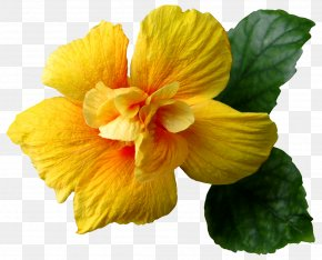 Yellow Flower Clip-Art Image - Flower Yellow Hibiscus Clip Art PNG