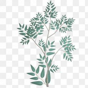 Eucalyptus - Branch Gum Trees Leaf Phenetics PNG