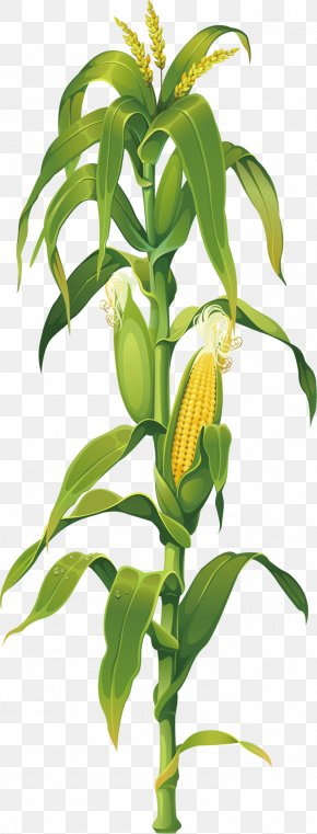 Corn - Maize Corn On The Cob Drawing Plant Clip Art PNG