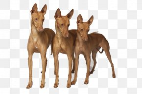 Pharaoh - Pharaoh Hound Serbian Tricolour Hound Treeing Walker Coonhound Black And Tan Coonhound Dunker PNG