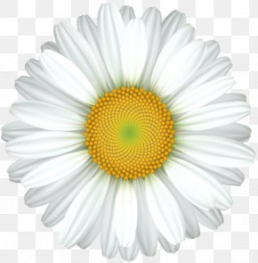 Design - Common Daisy Royalty-free Clip Art PNG