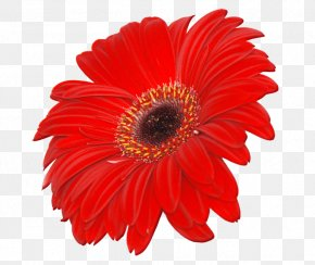 Image Transparent Flower - Transvaal Daisy Stock.xchng Common Daisy Stock Photography Clip Art PNG