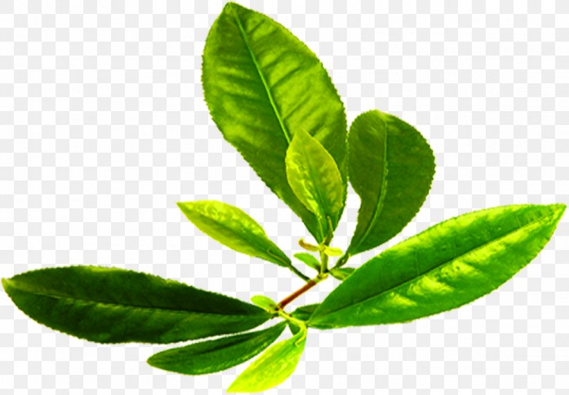 Green Tea Download Png 1138x790px Tea Branch Camellia Sinensis Chinese Tea Green Download Free