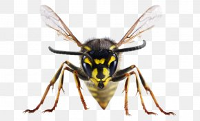 Insect - Insect Bites And Stings Bee United Kingdom Wasp PNG