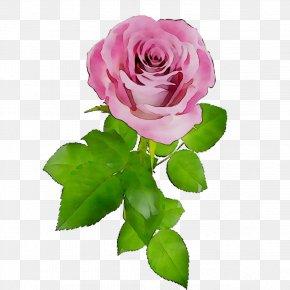 Garden Roses Cabbage Rose French Rose Floribunda Cut Flowers PNG