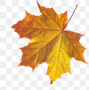 Autumn Leaf - Autumn Leaf Color Maple Leaf PNG