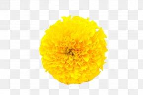 Yellow Marigold - Mexican Marigold Flower Calendula Officinalis Yellow PNG