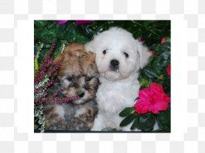 Bolonka Zwetna - Maltese Dog Havanese Dog Bolognese Dog Coton De Tulear Bichon Frise PNG