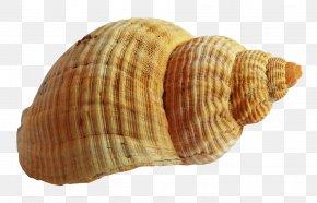 Seashell - Seashell Cockle PNG