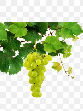 Bunch Of Grapes Hanging On The Vine - Sauvignon Blanc White Wine Pinot Blanc Chenin Blanc Riesling PNG