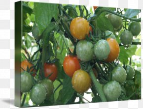 Cherry Tomato - Bush Tomato Vegetarian Cuisine Food Cherry Tomato PNG