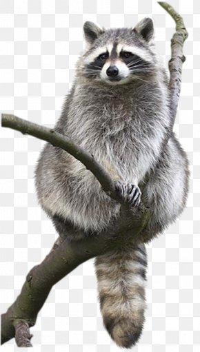 Raccoon - Raccoon Animal Drawing Bat Bird PNG