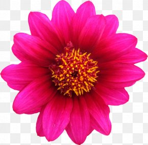 Gazania Transparent Background - Pink Flowers Rose Stock.xchng PNG