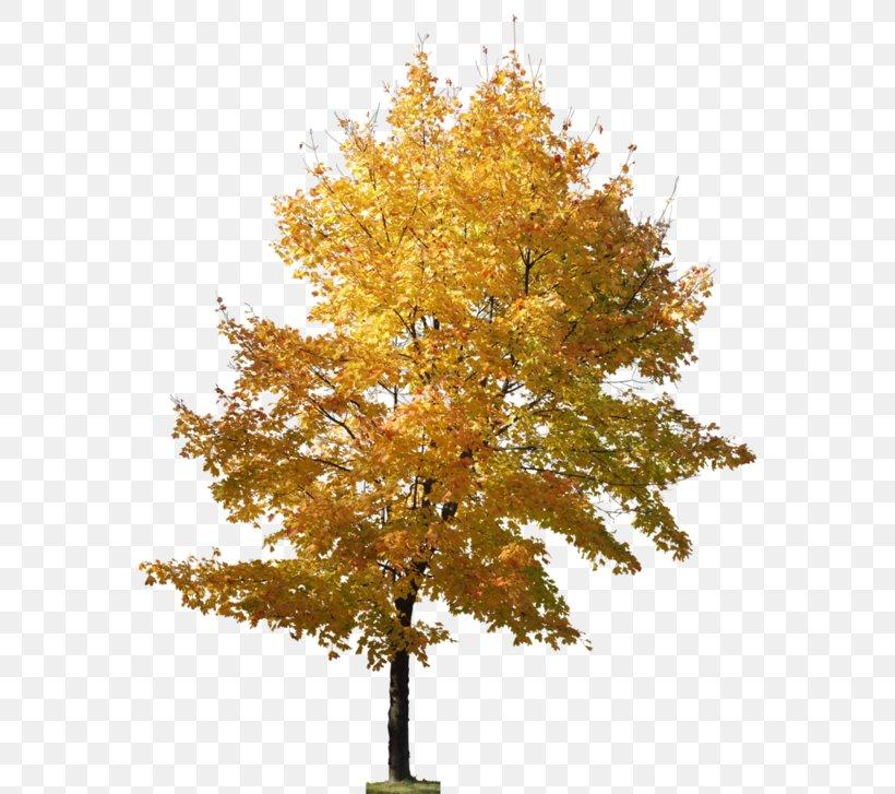 Tree Ginkgo Biloba Landscape Architecture Png 580x727px Tree