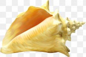 Seashell - Seashell Cockle Mollusc Shell Conchology PNG