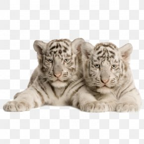 Tiger - Bengal Tiger White Tiger Felidae Cat Wallpaper PNG