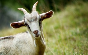 Goat - Mountain Goat Desktop Wallpaper High-definition Video Display Resolution PNG
