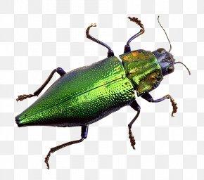Bug - Weevil PNG