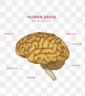 Creative Brain Structure Vector - Brain Human Body Euclidean Vector Structure PNG