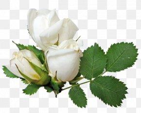 White Rose Image, Flower White Rose Picture - Wedding Ring Columbidae Engagement Ring PNG