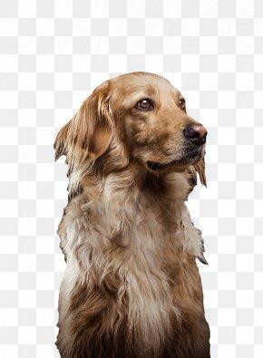 Free Cute Dog Pull Material - Golden Retriever Nova Scotia Duck Tolling Retriever Puppy Dog Breed Companion Dog PNG