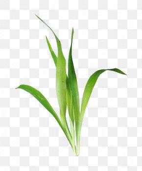 Grass - Leaf Aquatic Plant Download Clip Art PNG