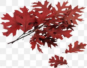 Autumn Leaf - Northern Red Oak Swamp Spanish Oak Autumn Leaf Color Quercus Coccinea PNG