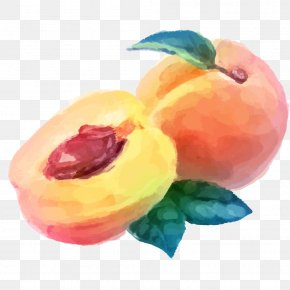 Watercolor Peach Vector Material - Watercolor Painting Peach Fruit Drawing PNG