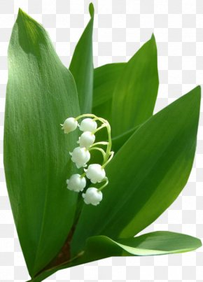 Lily Of The Valley - Lily Of The Valley Flower Bouquet Garden Roses Fleur Blanche PNG