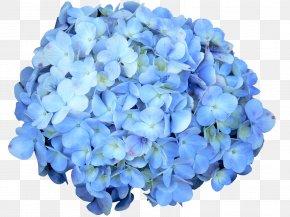 Betray Ribbon - Hydrangeaceae French Hydrangea Petal Cut Flowers Annual Plant PNG