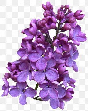 Flower - Common Lilac Flower Drawing Clip Art PNG