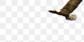 Eagle - Bald Eagle Fauna Beak Wildlife PNG