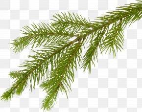 Fir-tree - Fir Tree Branch Clip Art PNG