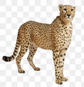 Cheetah File - Cheetah Clip Art PNG