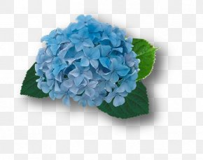 Hortensia - French Hydrangea Blue Cut Flowers Plant PNG