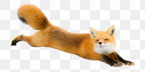 Fox - Red Fox Arctic Fox Dog Silver Fox PNG