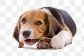 Tummy Puppy - Beagle Your Puppy Chewing Chew Toy PNG