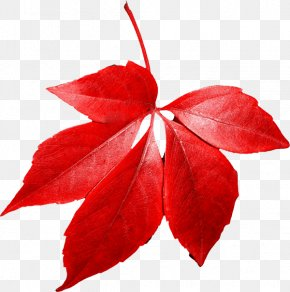 Red Autumn Leaf - Red Maple Autumn Leaf Color PNG