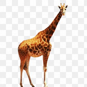 Giraffe - Northern Giraffe Download Euclidean Vector Computer File PNG