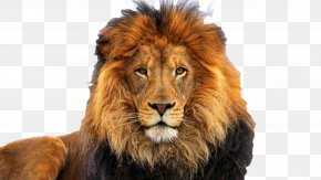 Lion - Lion High-definition Video Desktop Wallpaper Clip Art PNG