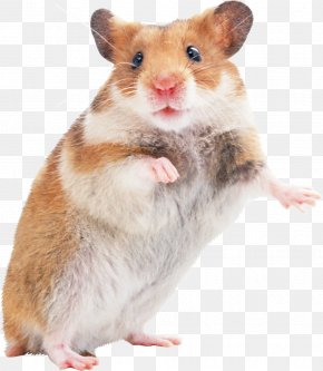 Hamsters - Golden Hamster Mouse Rodent Gerbil PNG