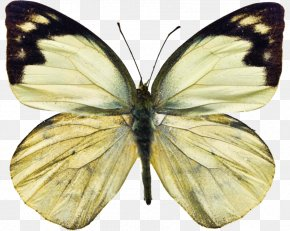 Butterfly Insect - Owl Butterfly Insect White Stock Photography PNG